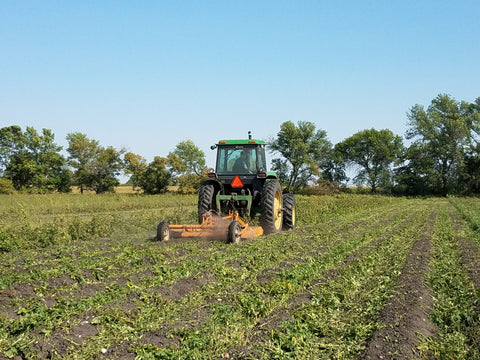 Mowing down potato vines to prepare for harvest