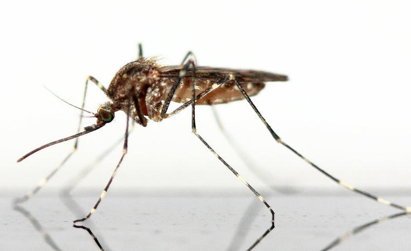 West Nile Virus and your Pet