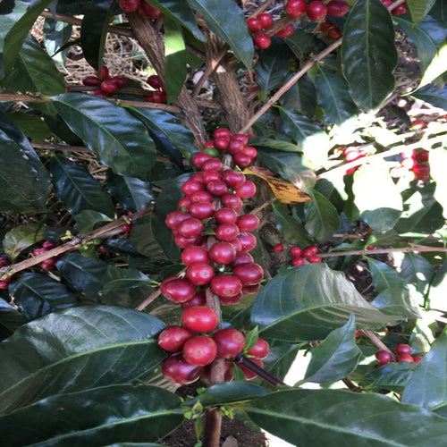 Costa Rica Bruncha Bio Armonia, Organic and Fair Trade