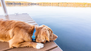 Duck Tolling Retriever laying on a boat dock looking at the lake with a blue biothane collar on.