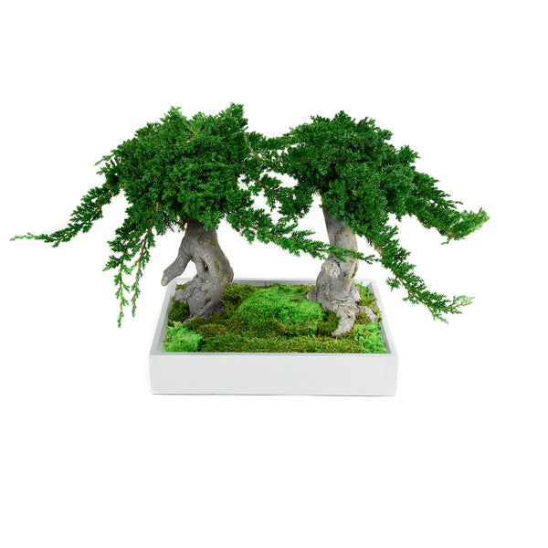 bonsai-double-racine-stabilisé