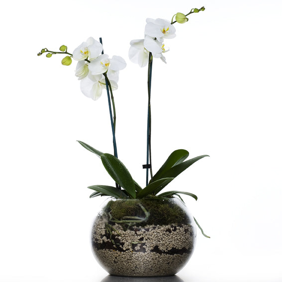 Phalaenopsis Double Stem Orchid Bowl