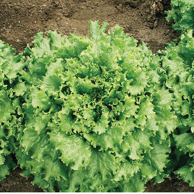 Tropicana Organic Pelleted Lettuce Seed - (Oz)