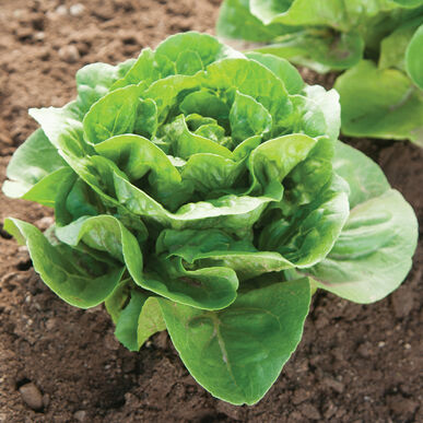 Dragoon Organic Pelleted Lettuce Seed (1/4oz)