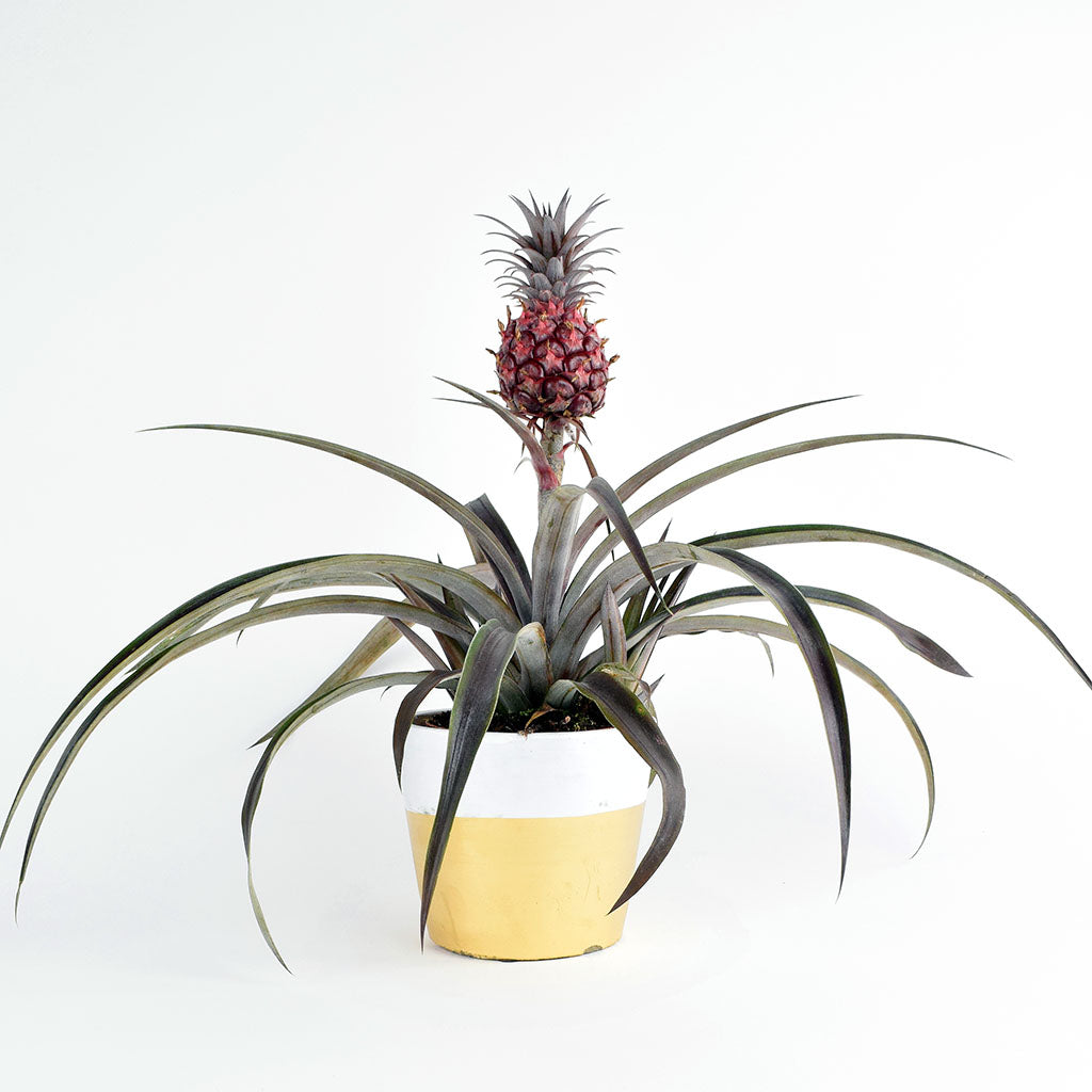 Spotlight on the Red Pygmy Pineapple