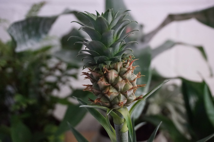 Plant Of The Month: Pygmy Pineapple