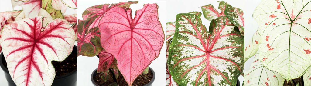 caladiums with patterned leaves