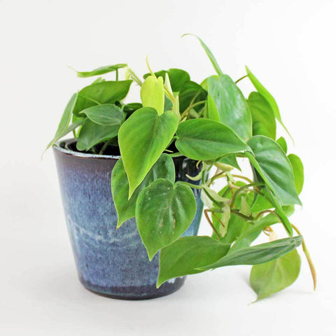 buy philodendron scandens online