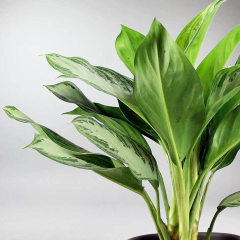 Chinese Evergreen 'Silver Bay' | Aglaonema Silver Bay