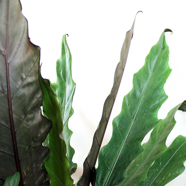 Extra Large Elephant Ear 'Purple Sword' | Alocasia lauterbachiana
