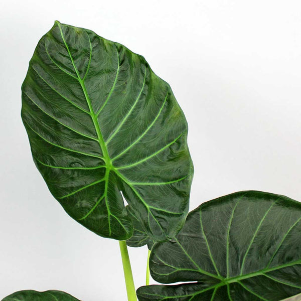 Elephant Ear 'Regal Shields' | Alocasia 'Regal Shields'