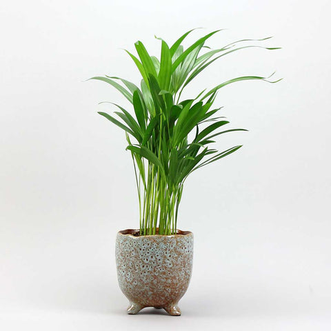 Areca Palm & Quail Pot | Dypsis lutescens Areca Palm with Quail Pot Medium