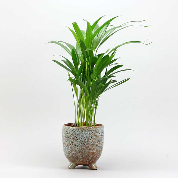 Areca Palm | Dypsis lutescens