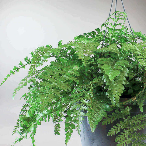 Mother Fern | Asplenium 'Parvati'