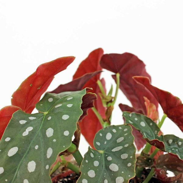 Polka Dot Begonia & Sweetpea Pot | Polka Dot Begonia maculata with Sweetpea Pot Small