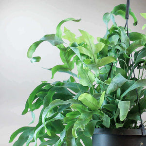 Blue Star Fern | Phlebodium aureum 'Blue Star'