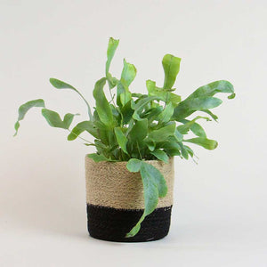 Blue Star Fern | Phlebodium Aureum