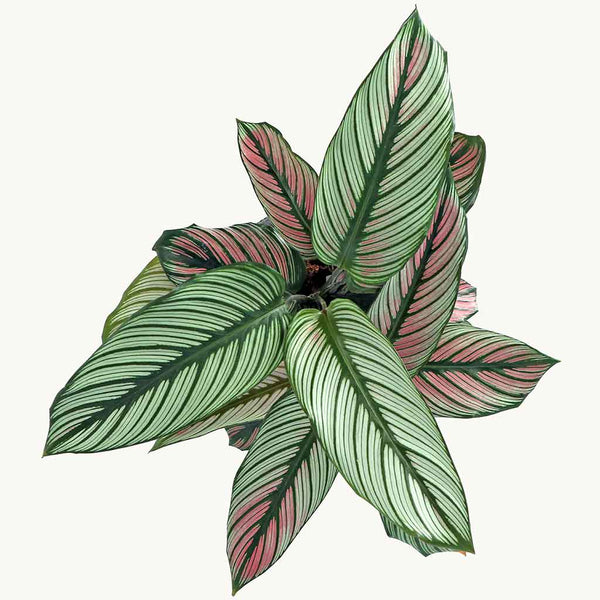 Large Calathea Pinestar | Calathea Whitestar