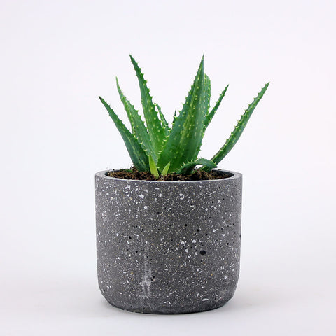 Candelabra Aloe - Medium