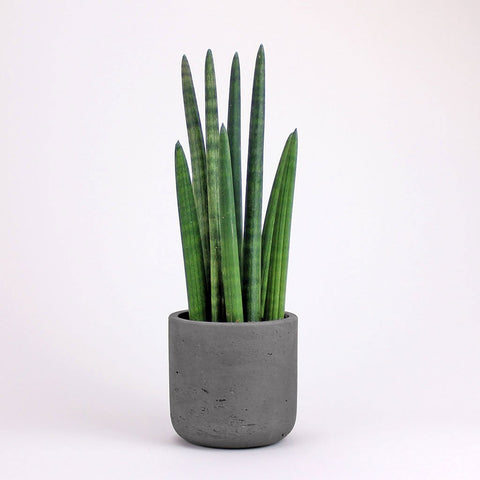 Cylindrical Snake Plant & Carbon Pot | Sansevieria cylindrica with Carbon Pot Medium
