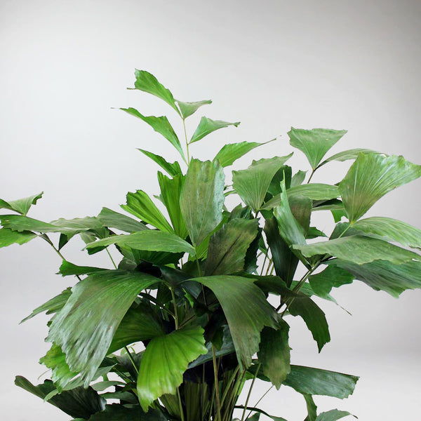 Extra Large Fishtail Palm | Caryota mitis