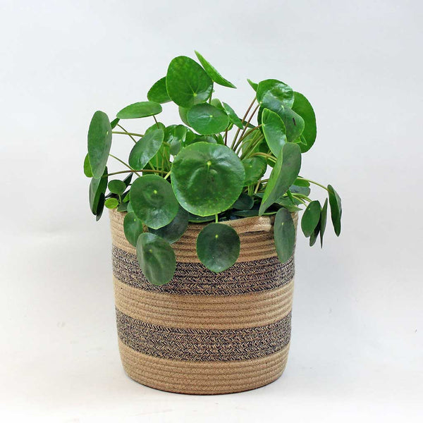 Extra Large Chinese Money Plant | Pilea peperomioides