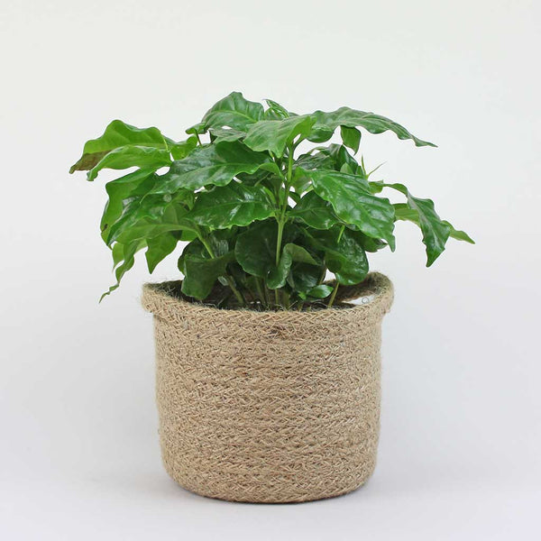 Coffee Plant with Jute Basket Medium