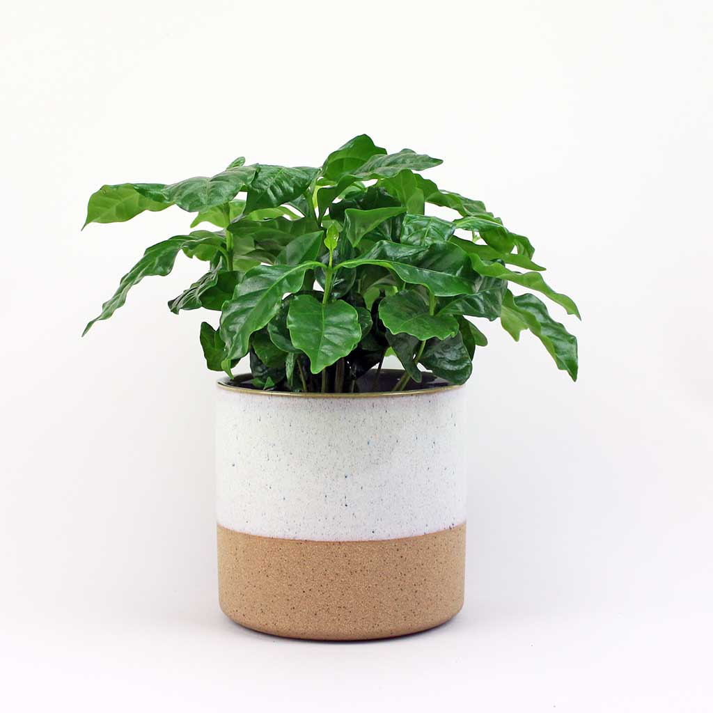 Coffee Plant & Nebular Pot | Coffea arabica with Nebular Pot Small