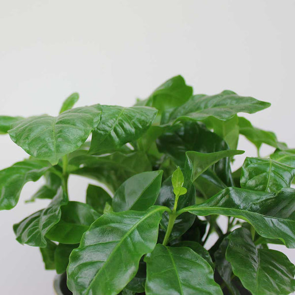 Coffee Plant | Coffea arabica
