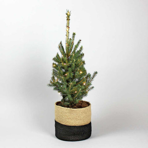 Prickly Pine | Picea glauca Super Green