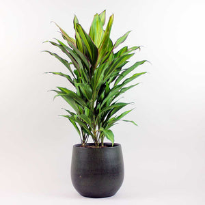 Large Good Luck Plant | Cordyline fruticosa 'Kiwi'