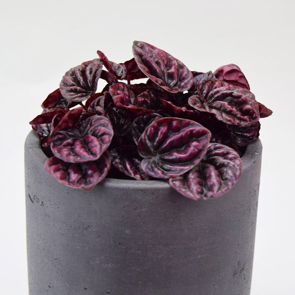 Schumi Red & Carbon Pot | Peperomia caperata 'Schumi Red' with Carbon Pot Small