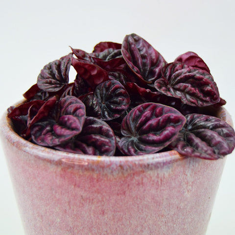 Schumi Red & Quartz Pot | Peperomia caperata 'Schumi Red' with Quartz Pot Extra Small