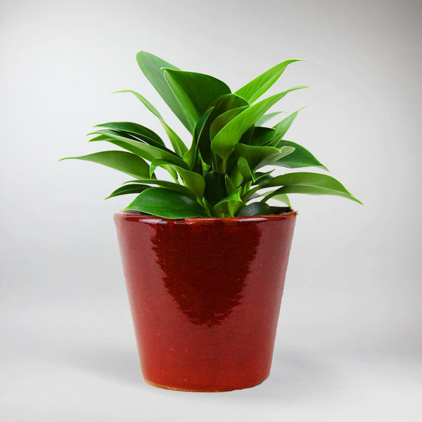 Philodendron 'Green Princess' | Philodendron 'Green Princess'
