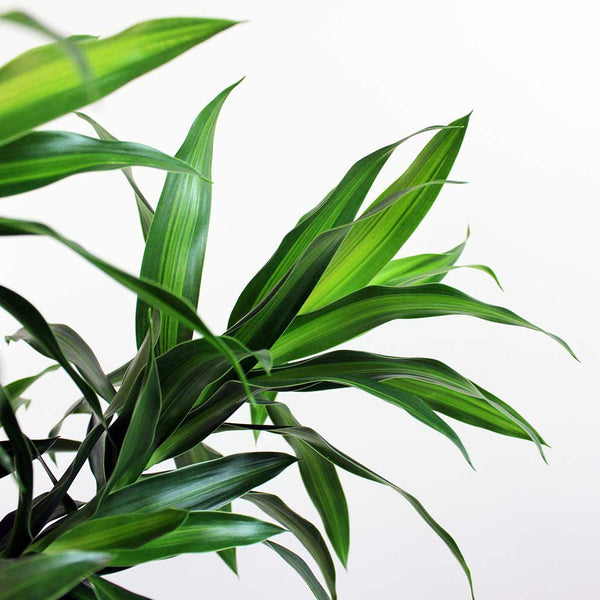 Large Dracaena Song of Jamaica | Dracaena reflexa 'Song of Jamaica'