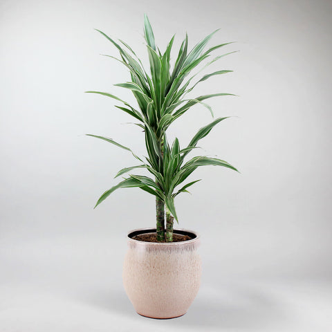 Dragon Tree | Dracaena deremensis 'Warneckii'
