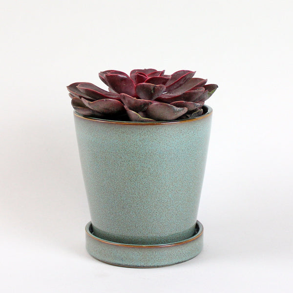 Red Purple Pearl | Echeveria Purple Pearl 'Red'