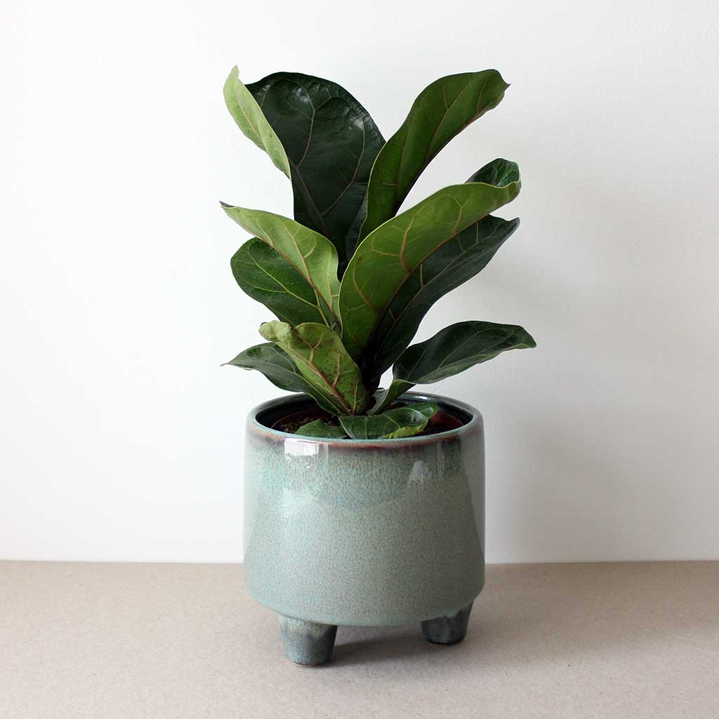 Fiddle Leaf Fig | Ficus Lyrata Bambino
