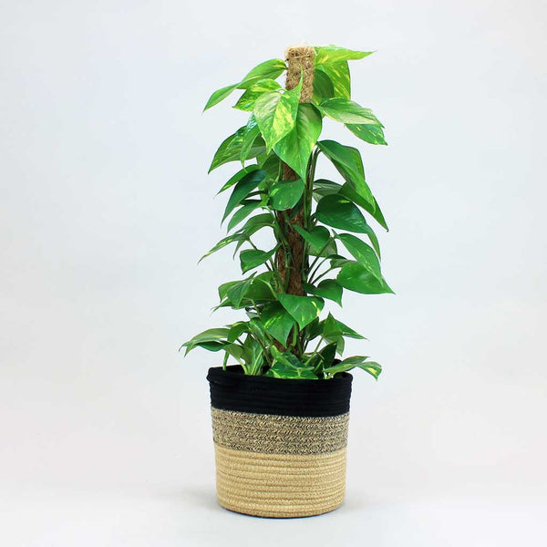 Golden Pothos with Moss Pole