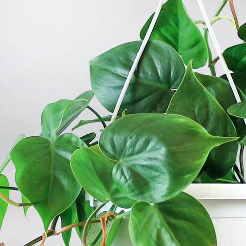 Green Sweetheart Plant | Philodendron scandens