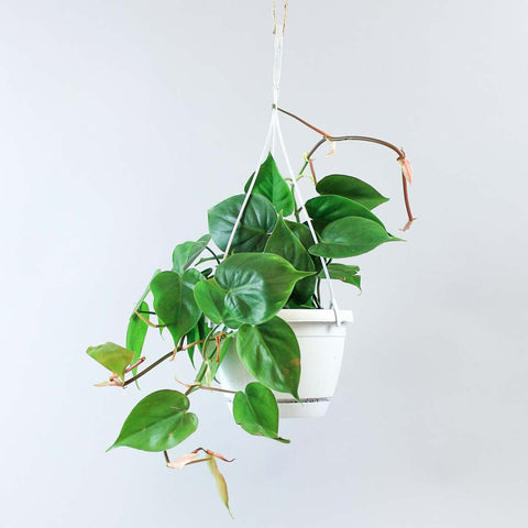Hanging Green Sweetheart Plant | Philodendron scandens