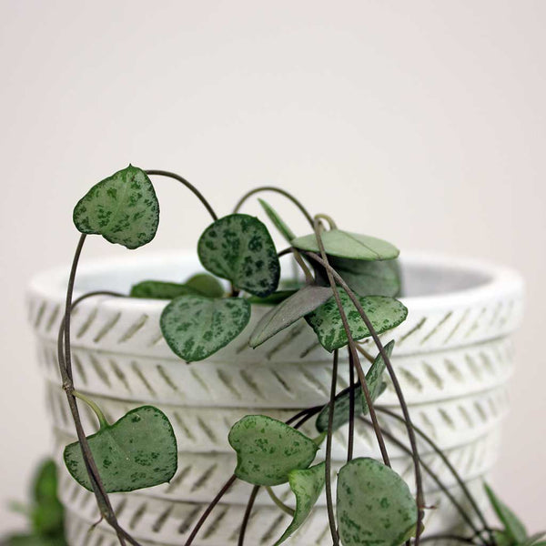 Small Hanging Hearts | Ceropegia Woodii
