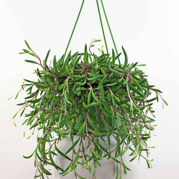 String of Bananas 'Purple Flush' | Senecio herreianus 'Purple Flush'