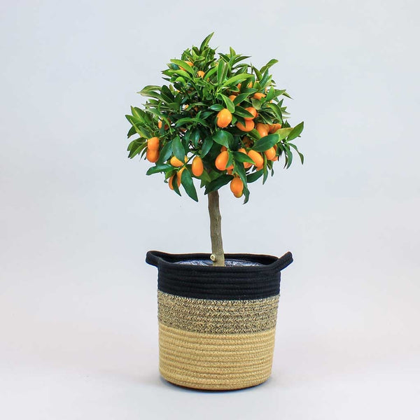 Kumquat Tree | Citrus japonica
