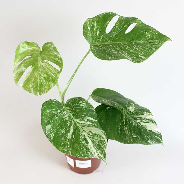 Variegated Swiss Cheese Plant | Monstera deliciosa 'Variegatum'