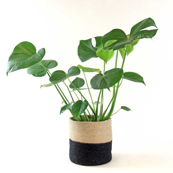 Swiss Cheese Plant | Monstera deliciosa