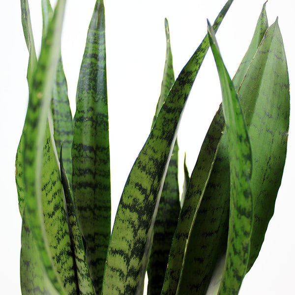 Mother-In-Law's Tongue Zeylanica 17cm | Sansevieria Zeylanica
