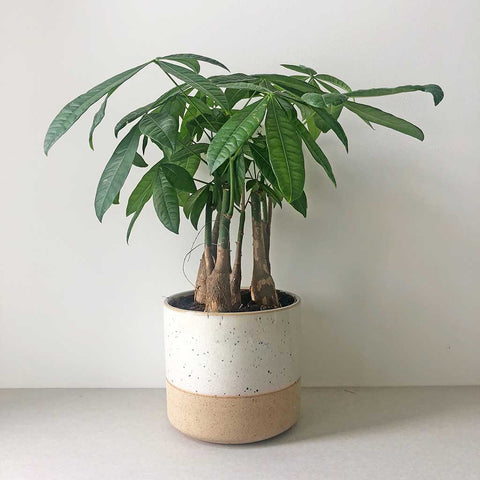 Money Tree | Pachira aquatica multistem
