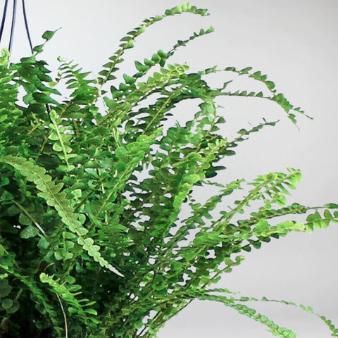 Boston Fern | Sword Fern: Nephrolepis Exaltata 'Green Lady'