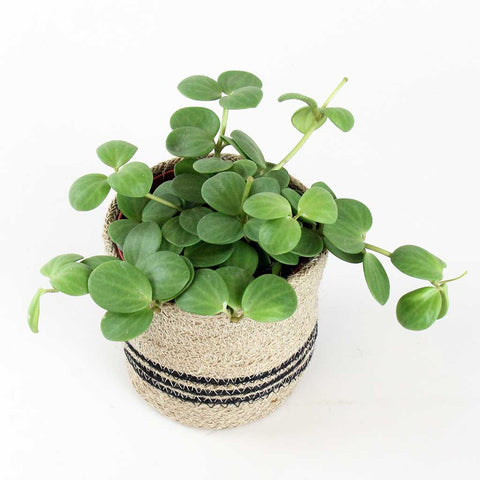 Peperomia Hope & Cleo | Peperomia hope and Cleo Basket